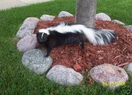 wildlife skunk removal by anytime animal control
