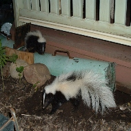 Skunk removal Call Us Anytime